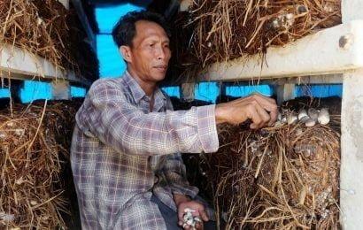 Ổn định kinh tế từ nấm rơm