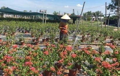 Sản xuất hoa kiểng gặp khó vì dịch Covid-19